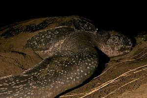 Leatherback Sea Turte on beach nesting. Costa Rica.