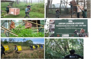 Proyek Pelepasan Lutung Jawa yang Ditransfer dari Howletts and Port Lympne Wild Animal Parks (UK) di Javan Langur Rehabilitation Centre (JLRC) Jawa Timur, Indonesia.
