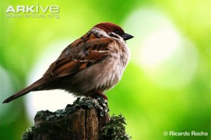Tree-sparrow-perched