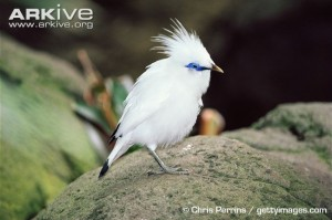 Bali-starling-with-crest-erect