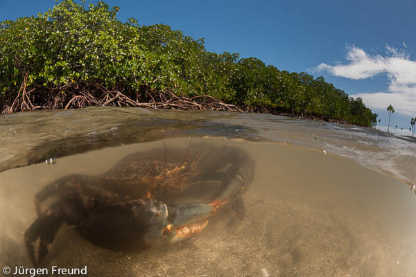Mud crabs (Scylla serrata) in the water by the mangrove roots - split level image.