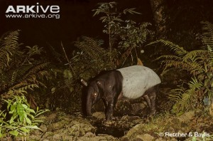 Asian-tapir-at-a-hotspring