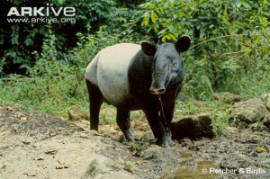 Asian-tapir-at-salt-lick