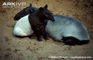 Female-Asian-tapir-with-juvenile