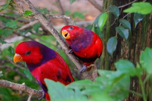 800px-Violet-necked_Lory_(Eos_squamata)_-two_in_tree