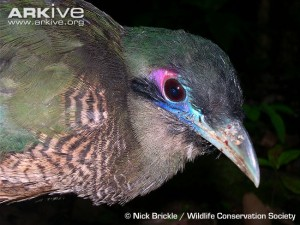 Close-up-of-a-Sumatran-ground-cuckoo