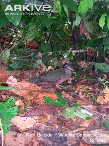 Sumatran-ground-cuckoo-on-the-forest-floor