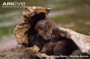 american-mink-and-offspring-in-hollow-log