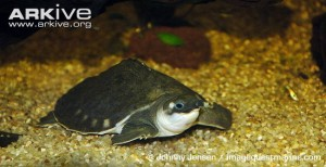 Pig-nosed-turtle-in-captivity-resting-on-bottom-of-tank